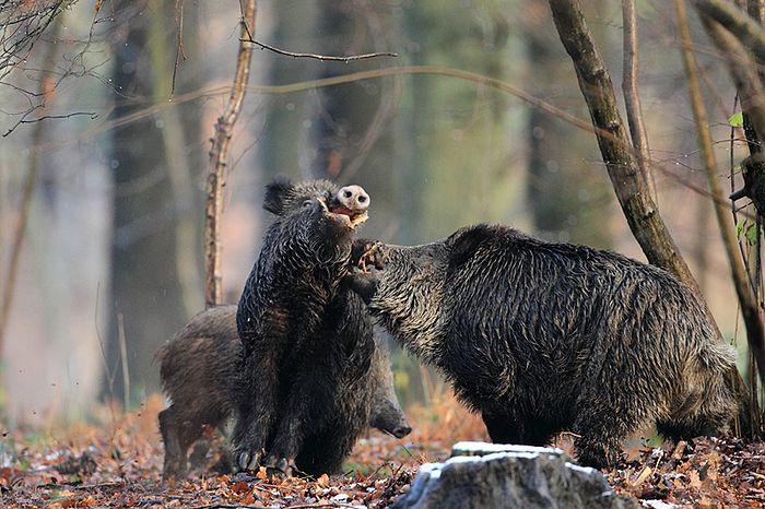 Sanglier : une baisse du tableau de chasse 2018-2019 !